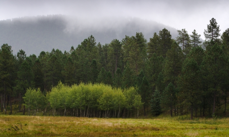 Birch Trees in Custer State Park