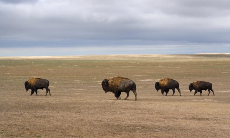 South Dakota Plains Grassland Bison
