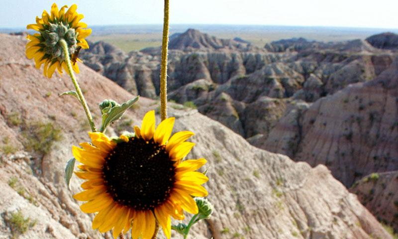 Wild Sunflower in Badlands National Park in South Dakota
