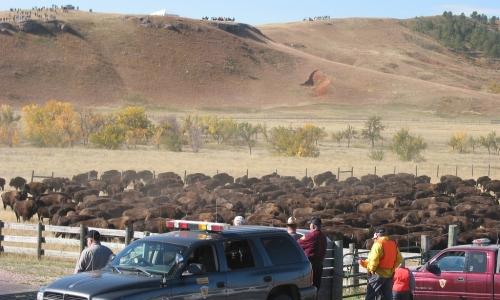 Custer State Park Buffalo Roundup