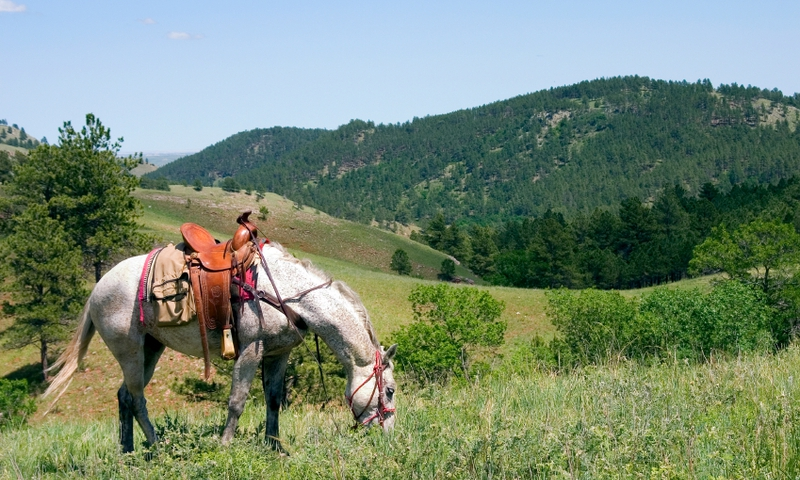 Horse grazing in the Black Hills