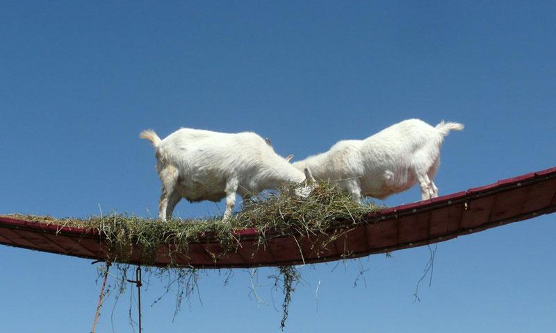 Goat Bridge at the Old MacDonald Farm